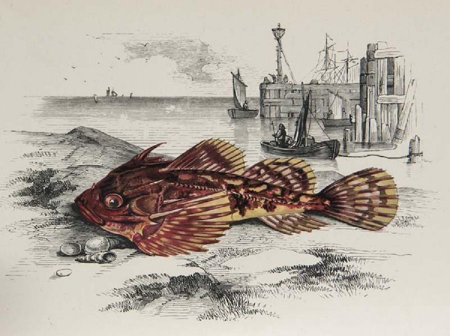 Jonathan Couch - A History of the Fishes of the British Islands, London, Bell & Sons, 1877-78